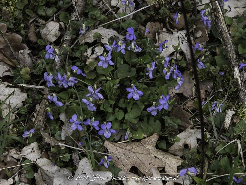 Witsporig bosviooltje (Viola riviniana)-819_1124