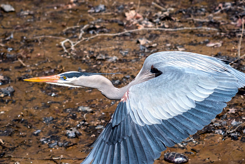 Heron in Flight | by Mike J Maguire