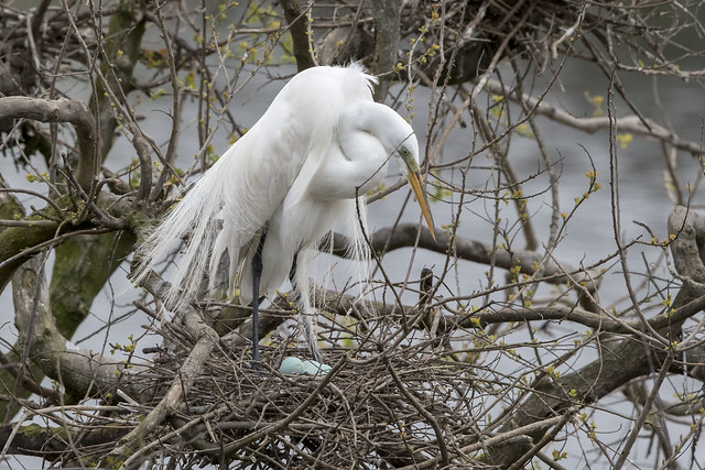 Great Egret and blue eggs - OY5A9416