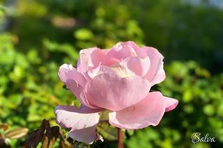 Aunque empiece a marchitarse, una #rosa siempre será una preciosidad #iosphoto #focosapp #nofilter #soloseviveunavez #viveydejavivir   by Vorete