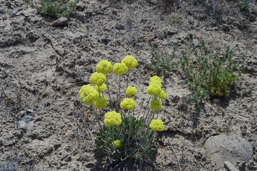 Eriogonum ovalifolium Yellow 5.30.1 | by geodesert