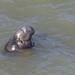 Northern Elephant Seal - Mirounga angustirostris - Point Reyes National Seashore, Marin County, California, USA - February 5, 2019 by mango verde