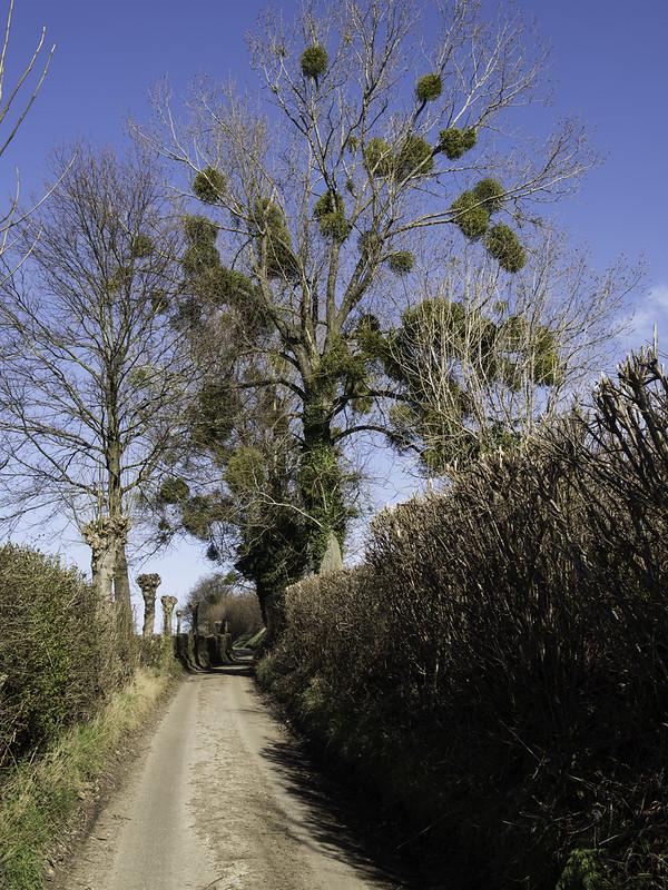 Mistletoe / Maretak (Viscum album)-819_0705