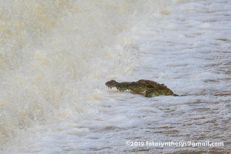 Mugger Crocodile (Crocodylus palustris) DSD_5225
