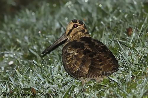 Becada, Arcea, Woodcock (Scolopax rusticola)