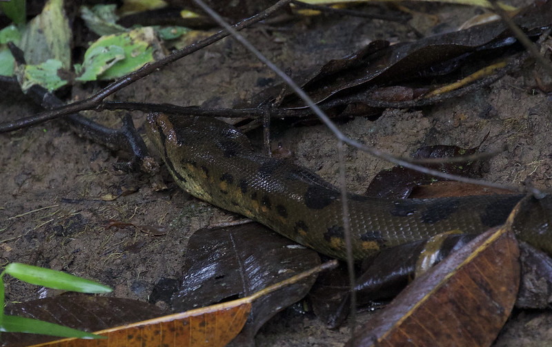 Amazonian Anaconda, Eunectes murinus Ascanio_Peruvian Amazon 199A6891