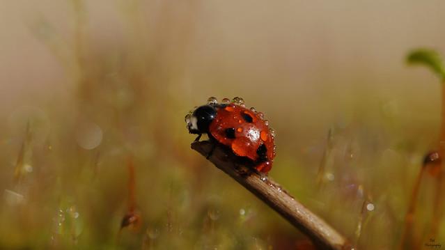 Wet Lady Bug....