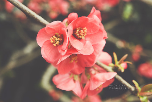 the quince is flowering | by mohini :: mangopowergirl.com