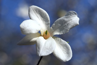 Магнолии (ботсад имени Фомина, Киев, Украина) / Magnolias (Botanical Garden named after Fomin, Kyiv, Ukraine)   by ~1974~