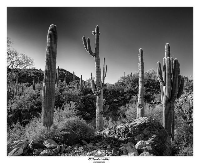 - Sonoran Desert Morning -