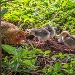 Hen and chicks, Dole Plantation