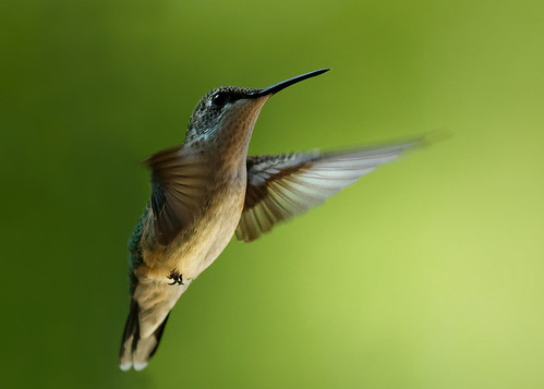 Ruby throated Hummingbird | by 2slo7