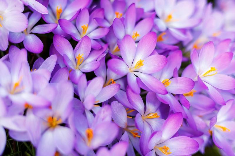 Обои макро, весна, лепестки, крокусы, много, шафран картинки на рабочий стол, раздел цветы - скачать
