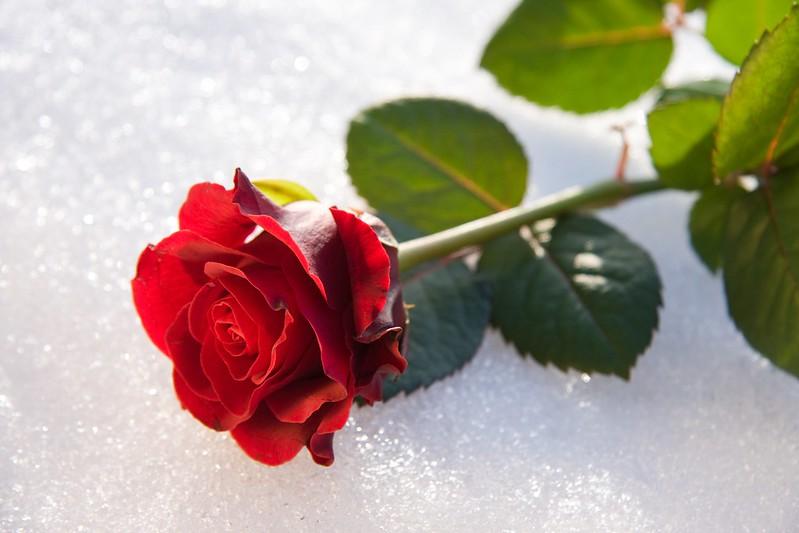 Обои Зима, Роза, Снег, Бутон картинки на рабочий стол, раздел цветы - скачать