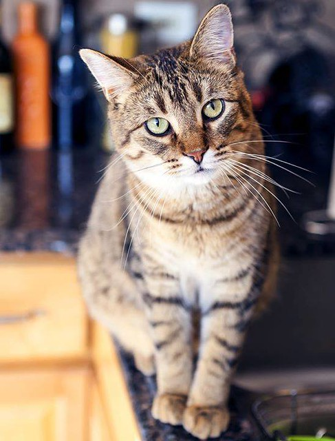Lost polydacty Tabby cat in #Chestermere 403-680-0022 Pls share watch RT to get Jazzy home YYC Pet Recovery shared Christine Lang's post. Lost Tabby Cat Went missing in Chestermere on Dec 21st. Throwing this out there to see if she made it into the city.