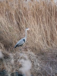 Grey Heron in Woodberry Wetlands (Ardea Cinerea)