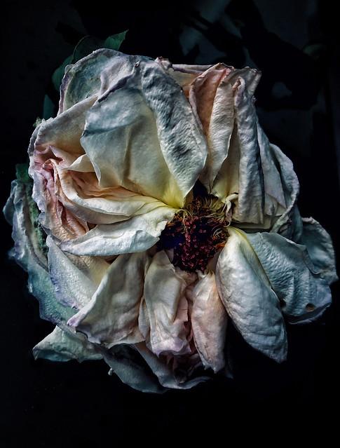A Rose is Still a Rose...