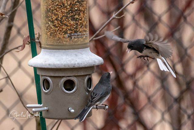Dark eyed Junco aerial attack 1