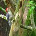 Red-bellied Woodpecker by Suzanham