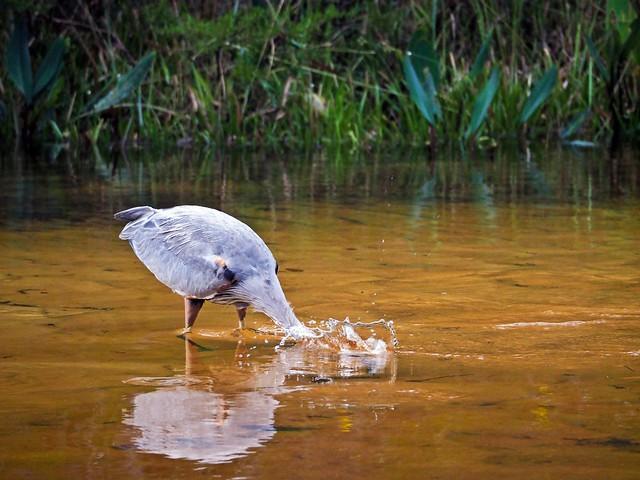 Snorkeling Heron in Turkey Creek