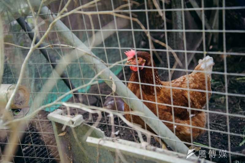 為了避免飼養雞隻遭石虎捕食,農戶可能會使用毒餌或獸夾對付石虎。圖為農家雞舍中的雞隻。(甘岱民攝)