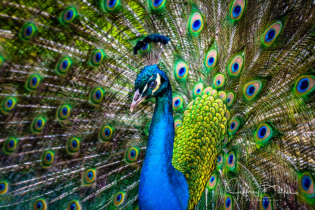 Peacock with THE LOOK!