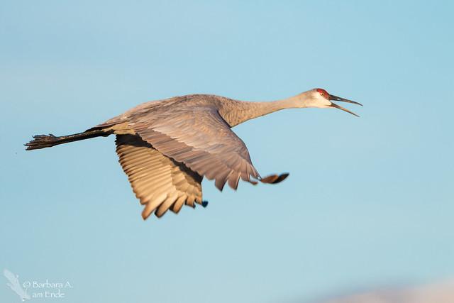 Sandhill Crane BIF