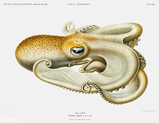 Velodona octopus vintage poster | by Free Public Domain Illustrations by rawpixel