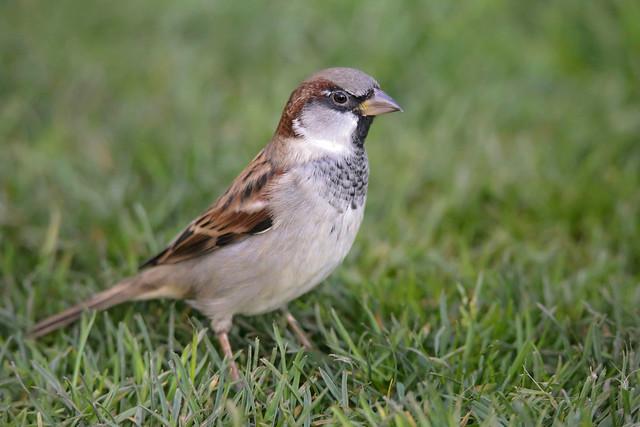 IMG_0655 Sparrow
