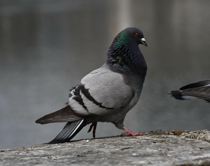 Pigeons 13.04 (3)