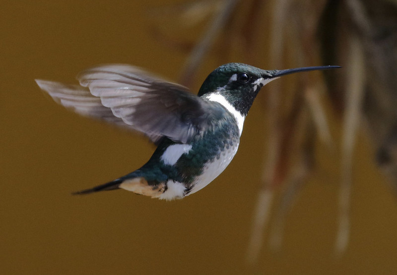 White-bellied Woodstar, Chaetocercus mulsant Ascani0_Colombia 199A3573