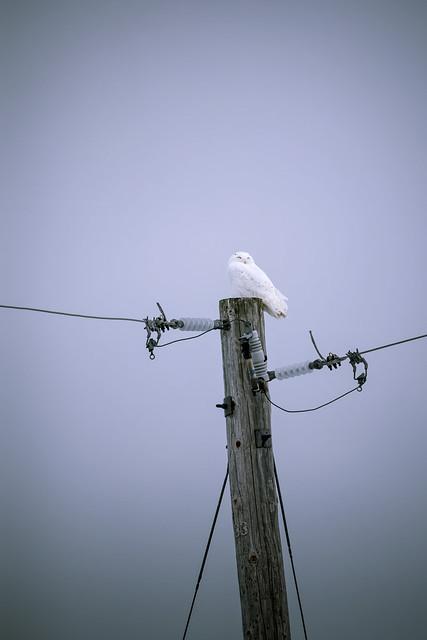 Pole Nº33 - Hedwig (Bubo scandiacus)