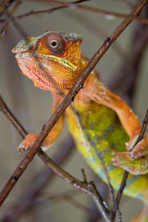 Next chameleon picture | by Tambako the Jaguar