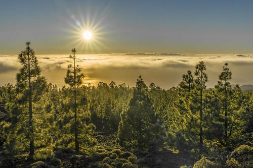 bã¤ume felsen fichten kanaren larva nadelholz teneriffa beidelteide kanarische bäume