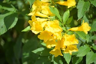 qflower Lump 11-24-17 1