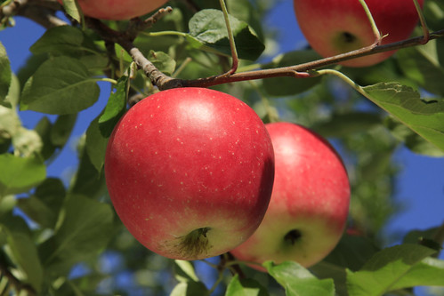 81 Shinano Piccolo Apples | by OURAWESOMEPLANET: PHILS #1 FOOD AND TRAVEL BLOG