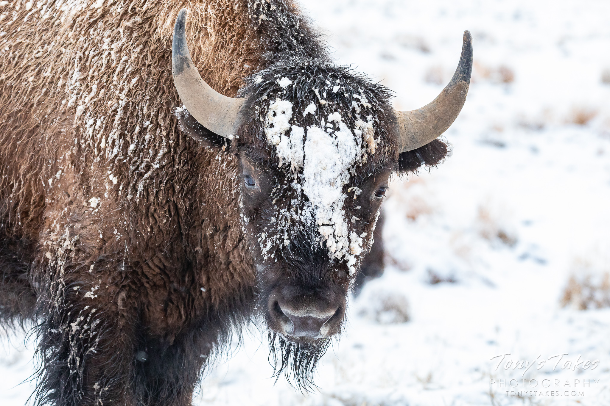 A bison cow is covered in snow following a snowstorm on the Colorado plains. (© Tony's Takes)