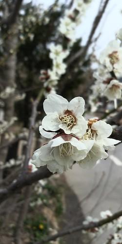 우지네골 봄꽃 산책길 | 벚꽃