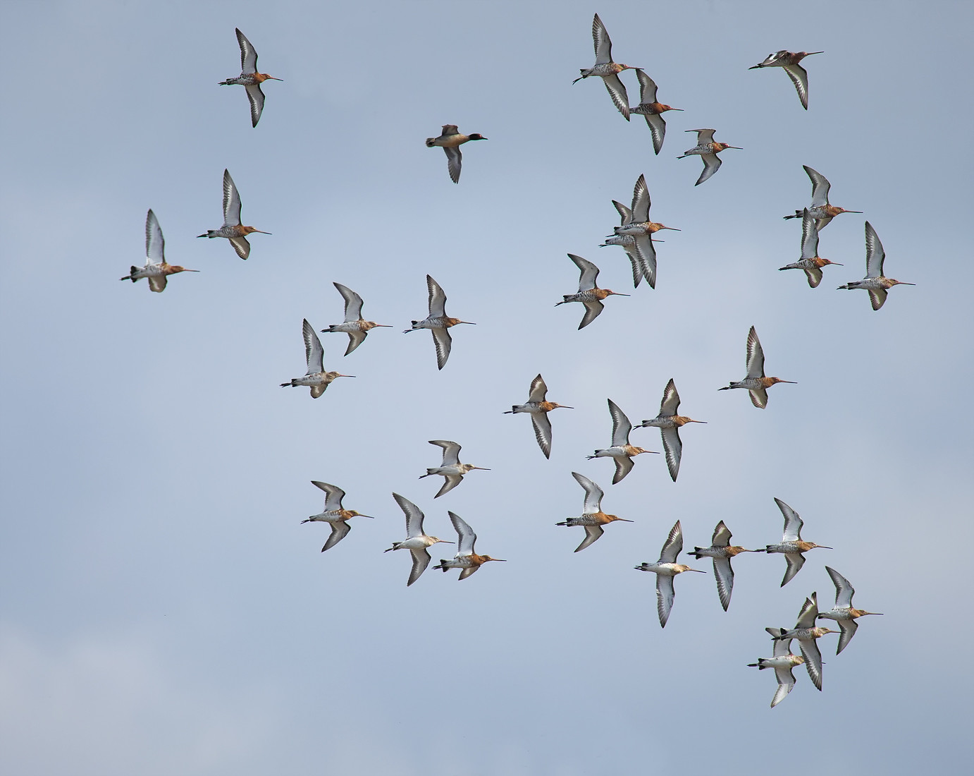 Black-tailed Godwits in flight, with Teal