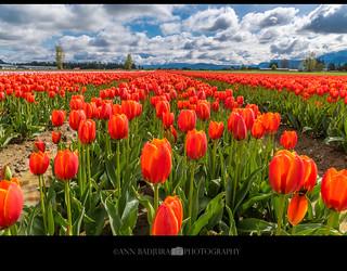 Chilliwack Tulip Fest near Vancouver, BC, Canada