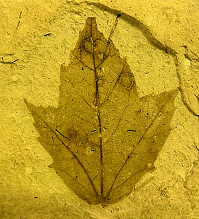 Miocene  leaf | by Hornbeam Arts