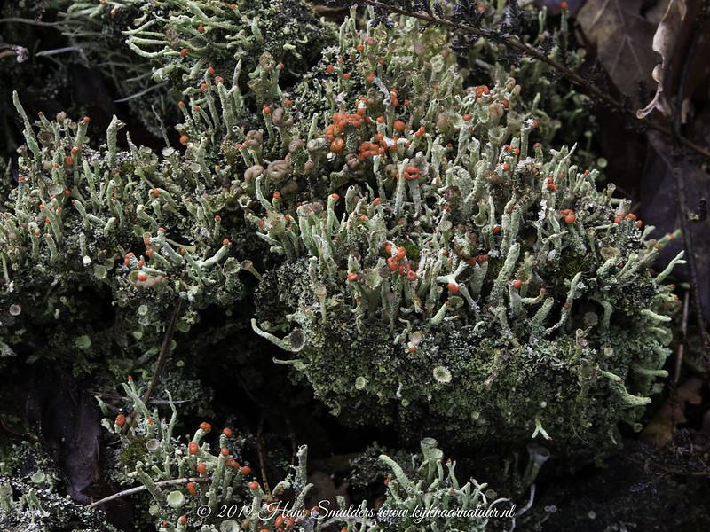 Rode heidelucifer (Cladonia floerkeana)-819_0325