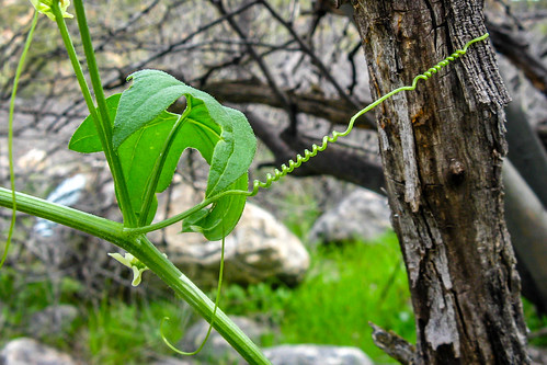 Nature's turnbuckle | by John W Little