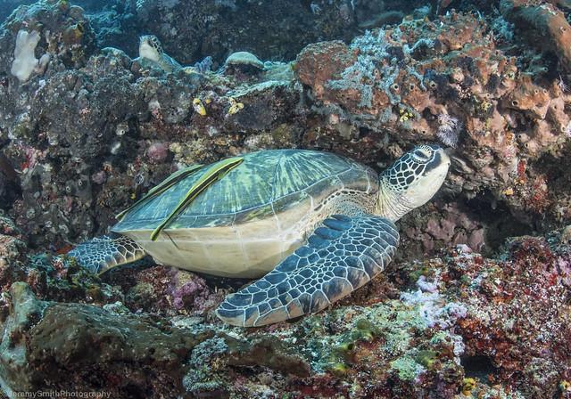 2 x Green Sea Turtles, Chelonia mydas, with Sharksuckers, Bunaken National Park, Indonesia