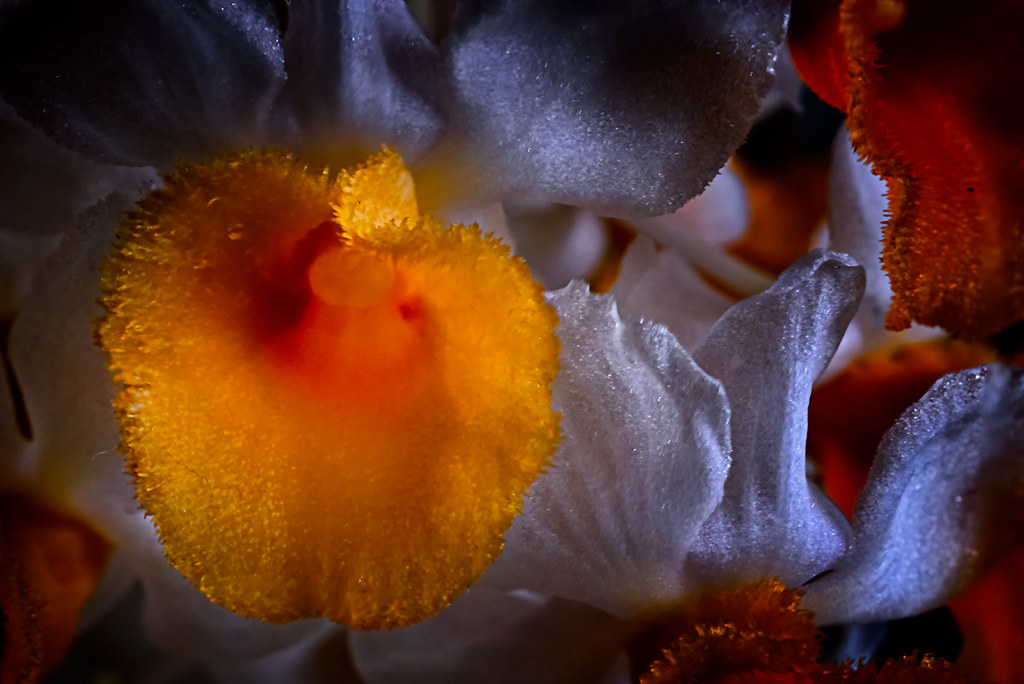 Macro abstract White orange Dendrobium thyrsiflorum orchid