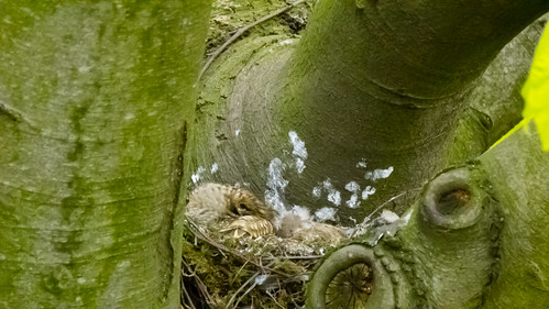 Nest: mistle thrush chicks