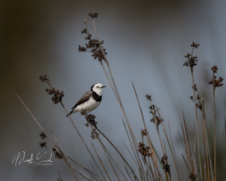 White-fronted chat | by markloh4896
