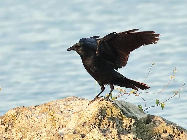 Fish Crow 20190314
