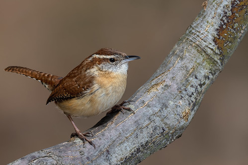 Carolina wren | by JEO126