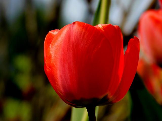 Sezon na tulipany.